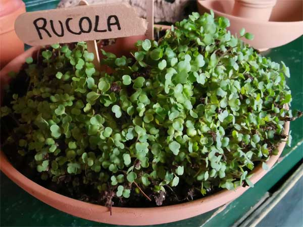 Kit Standard Rucola (Kids)